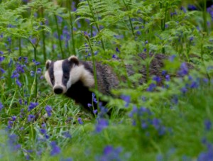 Photo 1 badger web